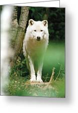 White Wolf Stare Greeting Card