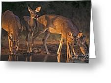 Whitetail Deer At Waterhole Texas Greeting Card