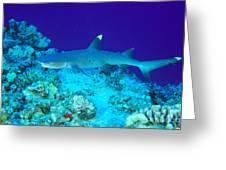 Whitetip Reef Shark Greeting Card