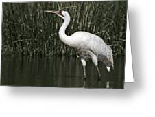 Whooping Crane Greeting Card