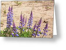 Wild Lupine Flowers Greeting Card