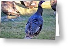 Wild Turkeys. Greeting Card