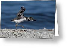 Wilson's Plover Greeting Card