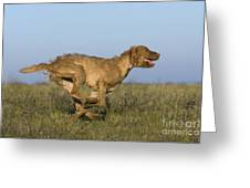 Wirehaired Vizsla Running Greeting Card