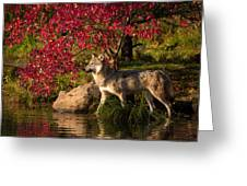 Wolf Portrait In Fall Greeting Card