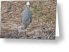 Yellow Crowned Night Heron At Tidal Creek Greeting Card