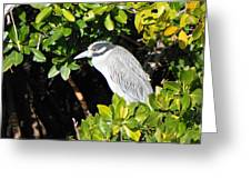 Yellow Crowned Night Heron Greeting Card
