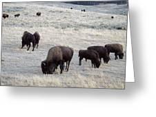 Yellowstone Bison Greeting Card