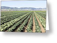 Young Broccoli Field For Seed Production Greeting Card