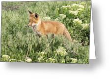 Young Red Tailed Fox Greeting Card