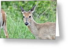 Young White-tailed Buck In Velvet Greeting Card
