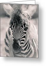 Zebra Colt In Spring Greeting Card