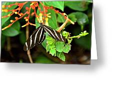 Zebra Longwing On Firebush  Greeting Card