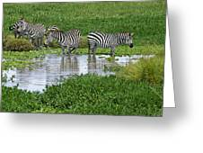 Zebras In The Swamp Greeting Card