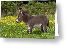 Miniature Donkey Foal Greeting Card