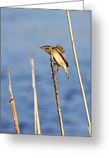 Sedge Warbler Greeting Card