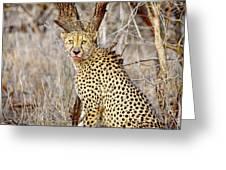 1022 Cheetah Greeting Card