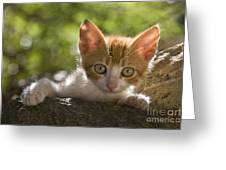 Kitten On A Wall Greeting Card