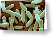 Lactobacillus Acidophilus Greeting Card