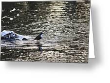 White-throated Dipper Greeting Card