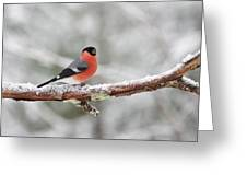 Eurasian Bullfinch In Winter Greeting Card