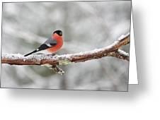 Eurasian Bullfinch In Winter Greeting Card