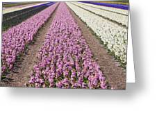 Hyacinths Fields Greeting Card