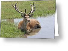 12 Point Buck Greeting Card