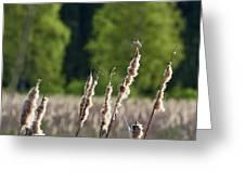 Sedge Warbler Greeting Card