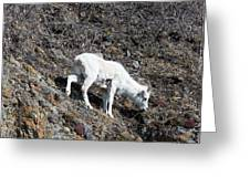 Dahl Sheep, Turnigan Arm Greeting Card