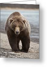Grizzly Bear Ursus Arctos Horribilis Greeting Card
