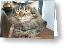 Maine Coon Cat Greeting Card