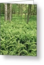 146112 Ferns In Pisgah Nat Forest V Greeting Card