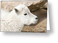 Baby Mountain Goats On Mount Evans Greeting Card