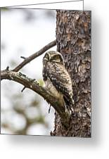 Hawk Owl Greeting Card