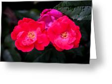 Knockout Roses Painted  Greeting Card
