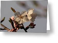 Black Cherry Tree  Greeting Card