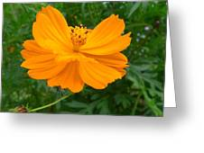 Australia - Yellow Flowers Of The Cosmos Carpet Greeting Card
