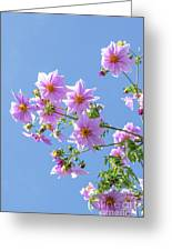 Fully Bloomed Pink Dahlia Imperialis At Garden In November Greeting Card