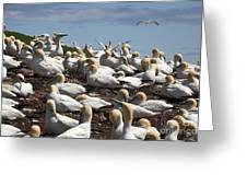 Gannet Colony Greeting Card