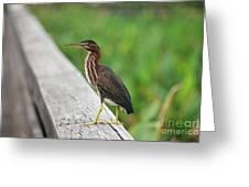81- Green Heron Greeting Card