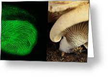 Luminescent Mushroom, Panellus Stipticus Greeting Card