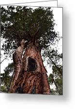 Giant Sequoia Trees Greeting Card