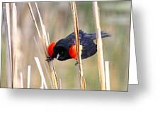 1911 - Red-winged Blackbird Greeting Card