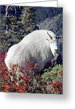 1m4900 Mountain Goat Near Mt. St. Helens Greeting Card
