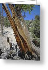 1n6956 Methuselah Tree Greeting Card