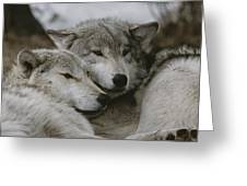 A Couple Of Gray Wolves, Canis Lupus Greeting Card by Jim And Jamie Dutcher