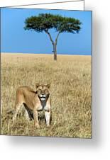African Lioness Panthera Leo, Serengeti Greeting Card