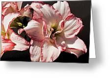 Amaryllidaceae Hippeastrum Amorice Greeting Card