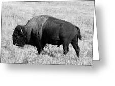 American Bison Buffalo Bull Feeding On Dry Fall Grass Greeting Card
